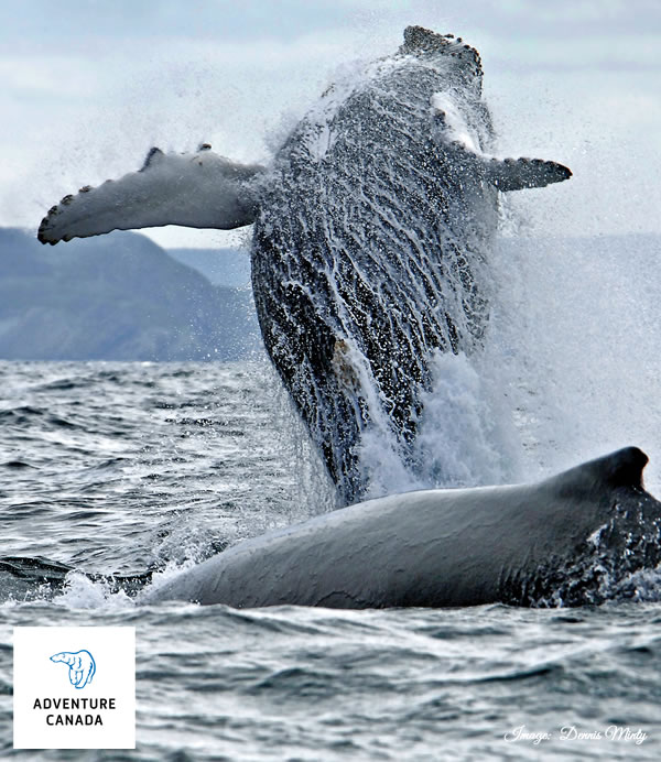 Adventure Canada - Humpback Whale - Dennis Minty