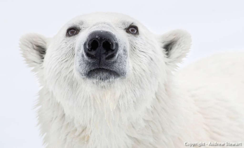 Polar Bear by Andrew Stewart - Adventure Canada